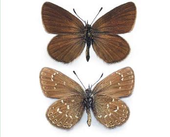 Синявець римнус (Neolycaena rhymnus (Eversmann, 1832))