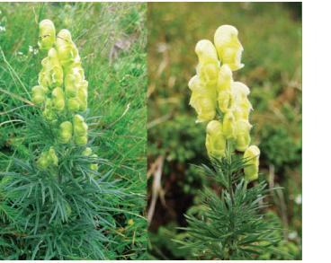 Aconitum jacquinii Rchb. (A. anthora auct. non L.)