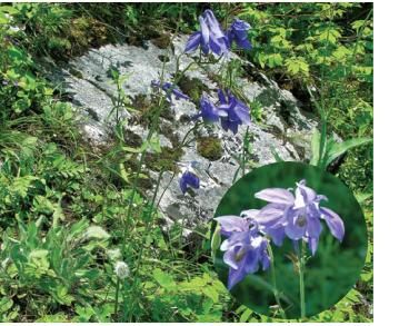 Водосбор чернеющий (Aquilegia nigricans Baumg.)