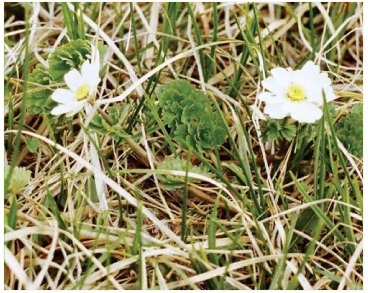 Рутовник кориандролистный (Callianthemum coriandrifolium Rchb.)
