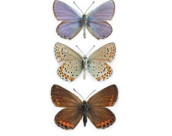 Синявець Пилаон (Plebeius pylaon (Fisher von Waldheim, 1832))