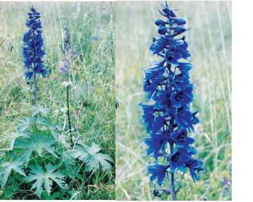 Delphinium elatum L. (incl. D. nacladense Zapał. = D. elatum subsp. nacladense (Zapał.) Holub)