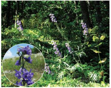 Живокость Палласа (Delphinium pallasii Nevski (D. fissum auct. non Waldst. et Kit.; D. fissum Waldst. et Kit. subsp. pallasii (Nevski) Greuter et Burdet))