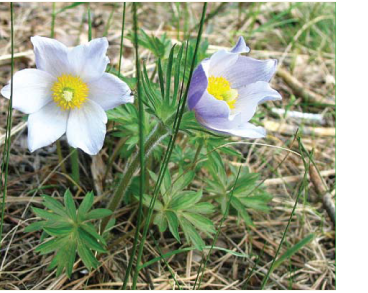 Pulsatilla patens (L.) Mill. s.l. (Anemone patens L., P. latifolia Rupr.; incl. P. kioviensis Wissjul., P. wolfgangiana (Besser) Rupr.)