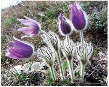 Сон кримський (Pulsatilla taurica Juz. (P. halleri (All.) Willd. subsp. taurica (Juz.) K.Krause; P. litophila Kotov))