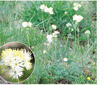 Рутвиця гачкувата (Thalictrum uncinatum Rehm. (T. petaloideum auct. non L.))