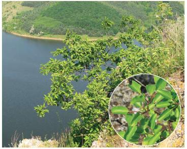 Жостір фарбувальний (Rhamnus tinctoria Waldst. et Kit. (R. saxatilis Jacq. subsp. tinctoria (Waldst. et Kit.) Nyman))