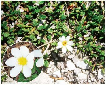 Дріада восьмипелюсткова (Dryas octopetala L.)