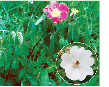 Шиповник Чацкого (Rosa czackiana Besser)