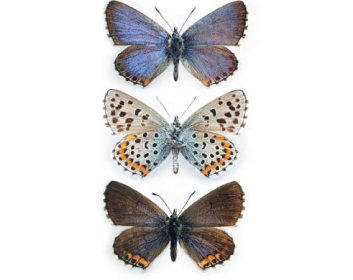 Синявець Бавій (Pseudophilotes bavius (Eversmann, 1832))