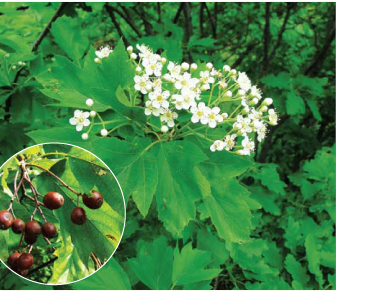 Берека (горобина берека) (Sorbus torminalis (L.) Crantz (Crataegus torminalis L., Pyrus torminalis (L.) Ehrh.))