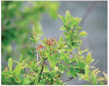Таволга польська (Spiraea polonica Błocki (S. media F.Schmidt subsp. polonica (Błocki) Pawł.))