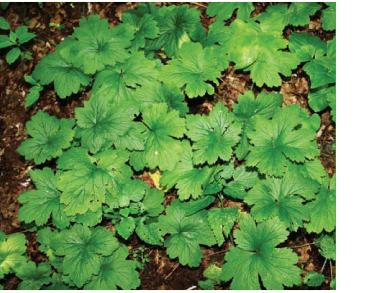 Вальдштейния гравилатовидная (Waldsteinia geoides L.)