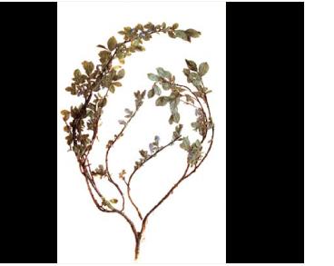 Верба альпійська (Salix alpina Scop. (S. jacquiniana Willd., S. jacquinii Host))
