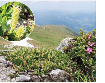 Верба туполиста (Salix retusa L. (S. kitaibeliana Willd.))