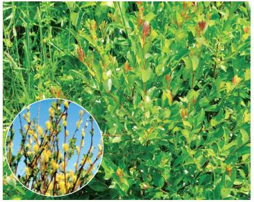 Верба Старке (Salix starkeana Willd. (S. livida Wahlenb.))