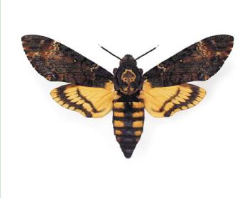 Бражник мертва голова (Acherontia atropos (Linnaeus, 1758))