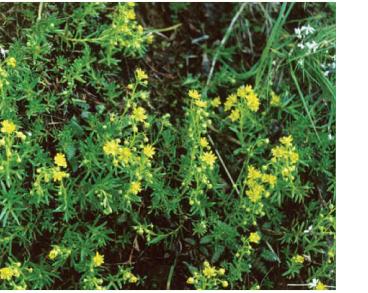 Камнеломка жестколистная (Saxifraga aizoides L.)