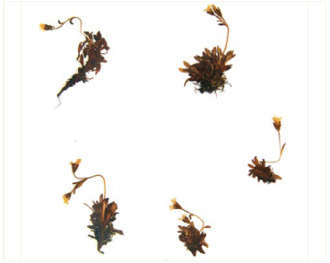 Ломикамінь переломниковий (Saxifraga androsacea L.)