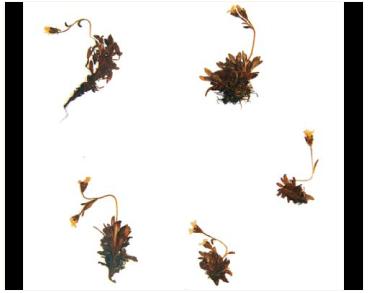 Камнеломка проломниковая (Saxifraga androsacea L.)