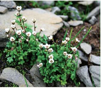 Ломикамінь карпатський (Saxifraga carpatica Sternb. (S. carpathica Rchb.))