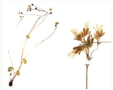 Камнеломка зернистая (Saxifraga granulata L.)