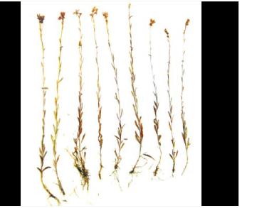 Камнеломка болотная (Saxifraga hirculus L.)