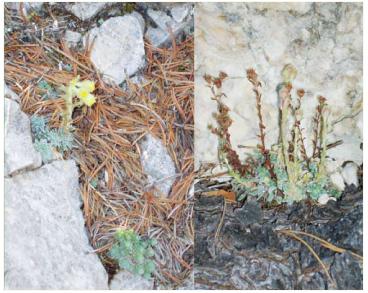 Ломикамінь жовто-зелений (Saxifraga luteo-viridis Schott et Kotschy (S. corymbosa auct. non Boiss.))
