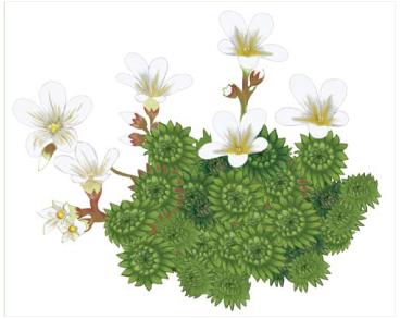 Ломикамінь напівзонтиковий (Saxifraga pedemontana All. subsp. cymosa Engler (S. cymosa Waldst. et Kit., nom. inval.))