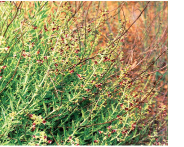Scrophularia granitica Klokov et A.Krasnova