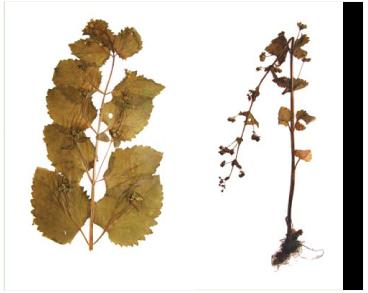 Ранник весняний (Scrophularia vernalis L.)