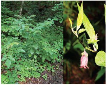 Красавка белладонна (Atropa belladonna L.)