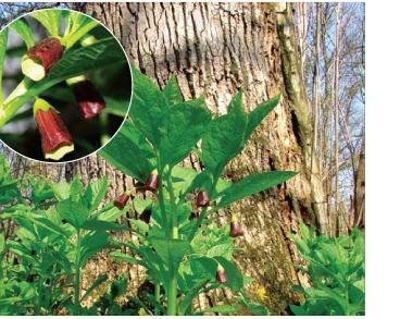 Скополія карніолійська (Scopolia carniolica Jacq.)