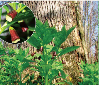 Scopolia carniolica Jacq.