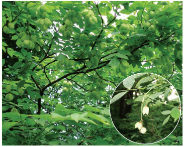 Клокичка периста (Staphylaea pinnata L.)