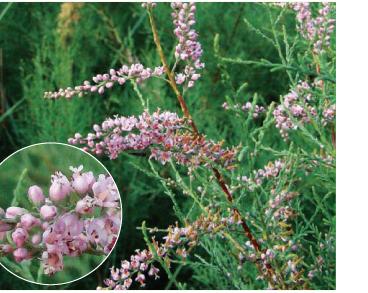 Гребенщик стройный (Tamarix gracilis Willd.)