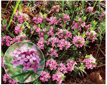 Волчеягодник боровой (Daphne cneorum L.)