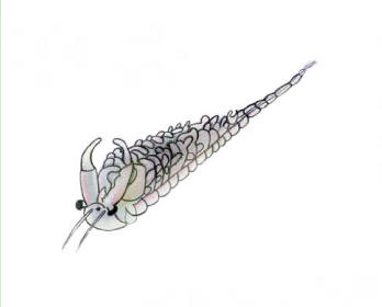Бранхінекта східна (Branchinecta orientalis G.O. Sars, 1901)