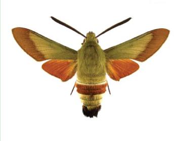 Бражник хорватський (Hemaris croatica (Esper, 1779))