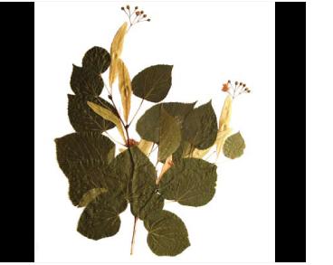 Липа пухнастостовпчикова (Tilia dasystyla Steven)