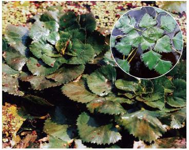 Trapa natans L. s.l. (incl. T. borysthenica V.Vassil., T. danubialis Dobrocz., T. flerovii Dobrocz., T. hungarica Opiz, T. macrorhiza Dobrocz., T. maeotica Woronow, T. pseudocolchica V.Vassil., T. rossica V.Vassil., T. ucrainica V.Vassil.)