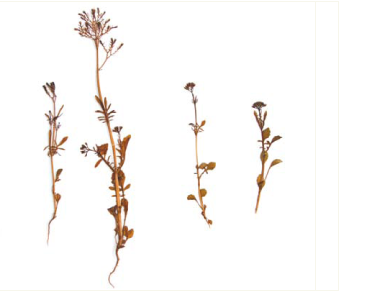 Centranthus calcitrapa (L.) Dufr.