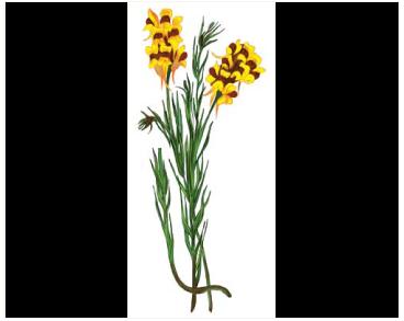 Льонок бессарабський (Linaria bessarabica Kotov (L. biebersteinii auct. non Besser))