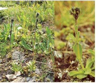 Вероніка стокроткова (Veronica bellidioides L.)