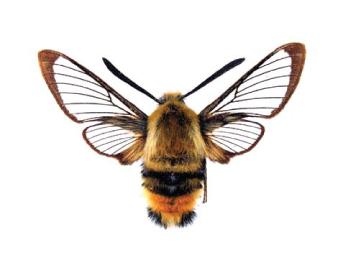 Бражник Титий (Hemaris tityus (Linnaeus, 1758))