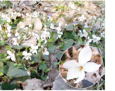 Червона книга України. Фіалка біла Viola alba Besser (V. besseri ...