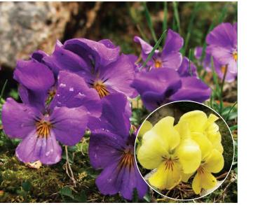 Фіалка кримська (скельна) (Viola oreades M.Bieb.)
