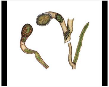 Вошерія прибережна (Vaucheria litorea Hoffm.–Bang. et C.Agardh)