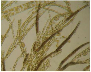 Ектокарпус стручкуватий (Ectocarpus siliculosus (Dillw.) Lyngb. var. hiemalis (Crouan ex Kjellm.) Gallardo /= E. hiemalis (Crouan ex Kjellm.)Kjellm./)