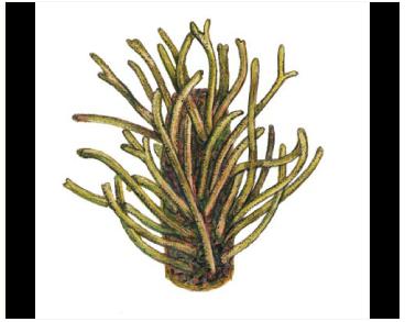 Кладостефус губчатый (Cladostephus spongiosus (Huds.) C. Agardh)